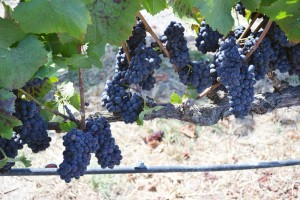 September Vineyard Journal